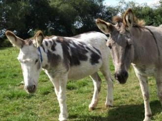 Two Donkeys - 01