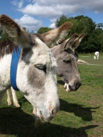 Two Donkeys - 02
