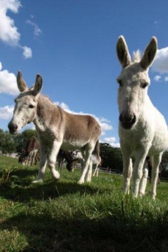 Two Donkeys - 05