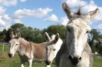 Three Donkeys - 02
